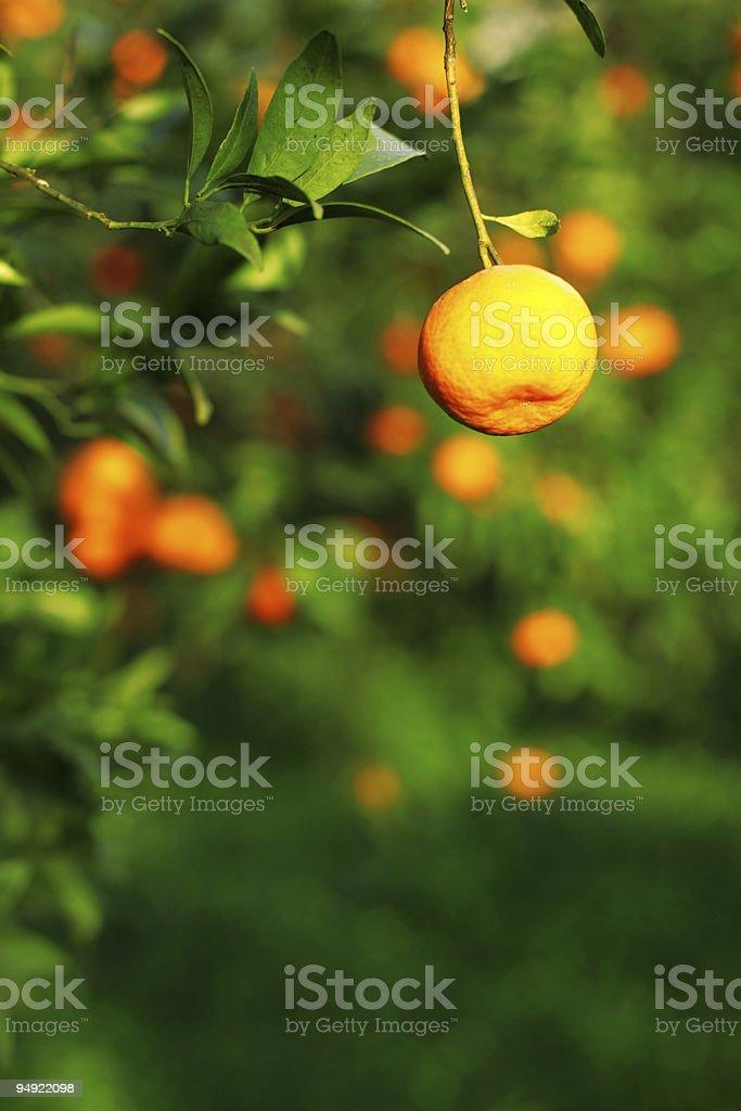tangerine tree royalty-free stock photo