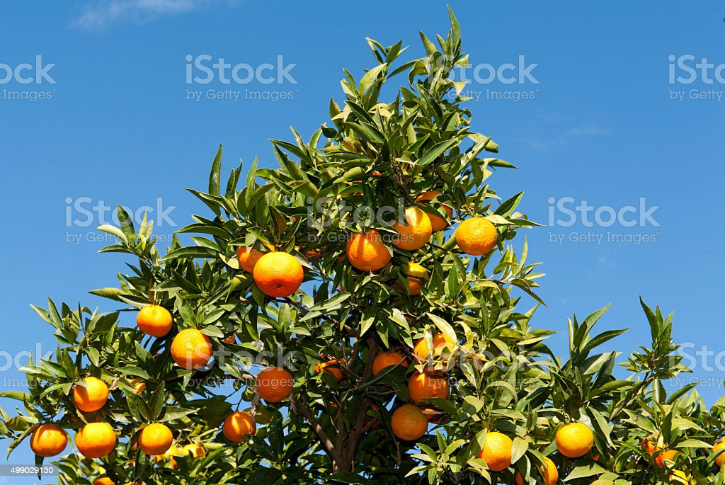 Tangerines against the blue sky stock photo