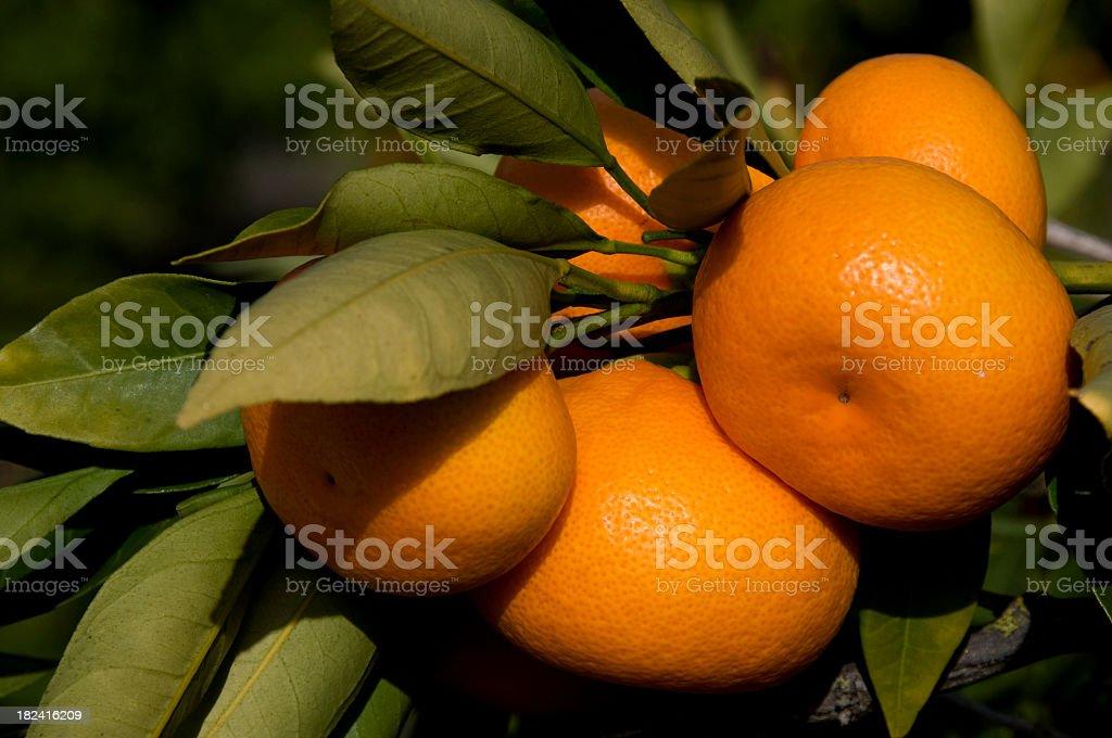 tangerines, Citrus reticulata, fruit in tree stock photo