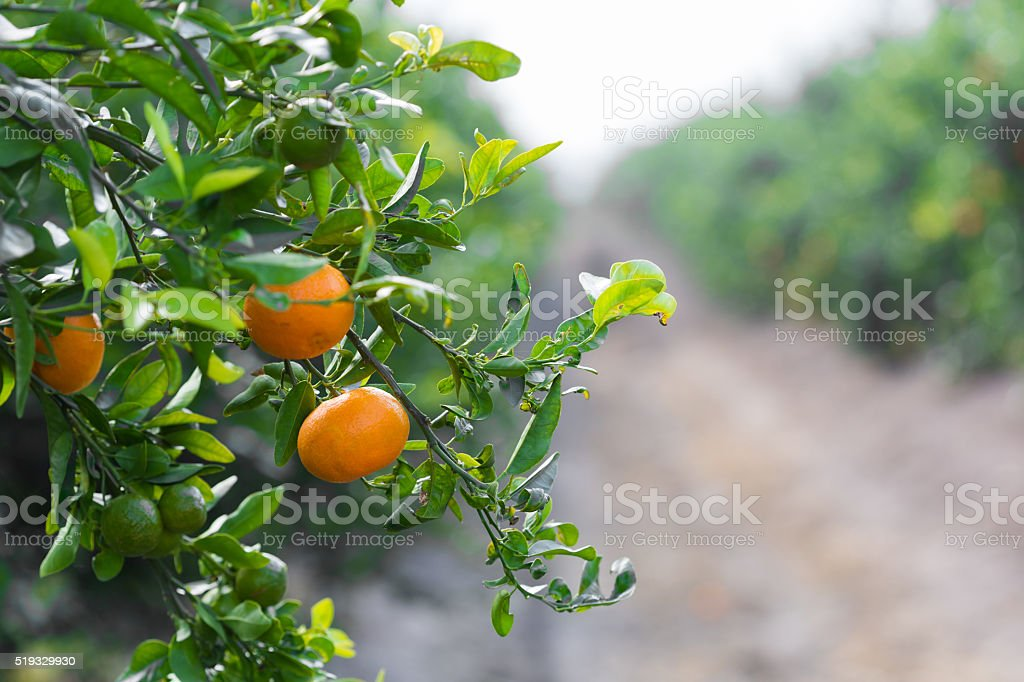tangerines growing on a tree stock photo