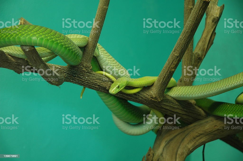 Tangle Of Green Snakes royalty-free stock photo