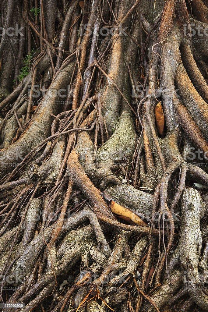 tangled banyan tree roots in Kauai Hawaii royalty-free stock photo