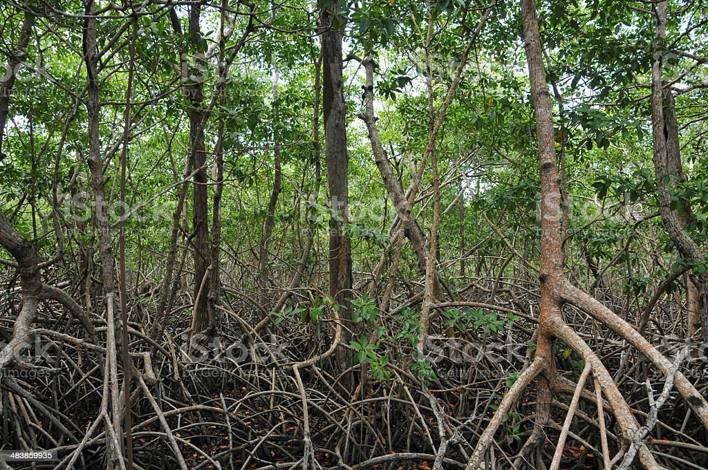 Tangled Mangrove Swamp Forest stock photo