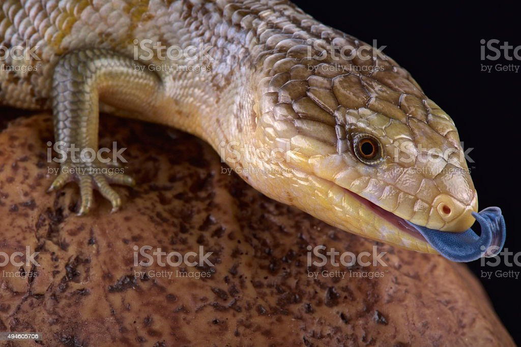 Tanimbar blue tongue skink  (Tiliqua scindions chimaerea) stock photo