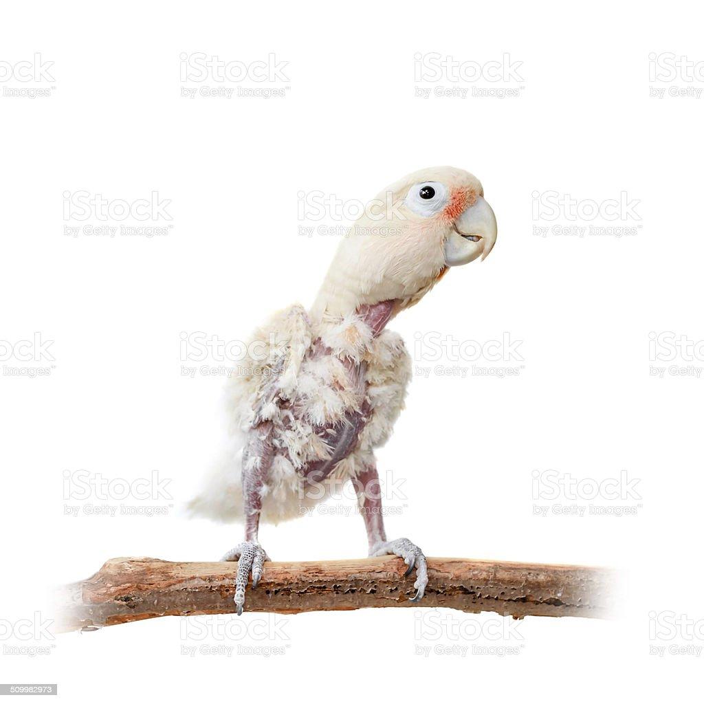 Tanimbar corella or Goffin's cockatoo on white stock photo