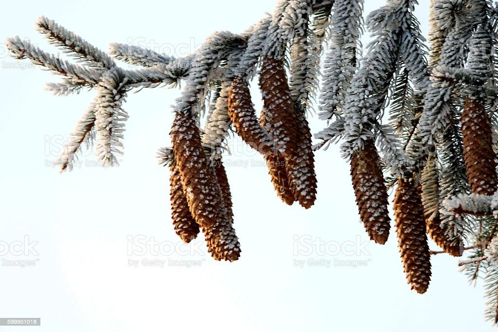 Tannenzapfen im Winter stock photo