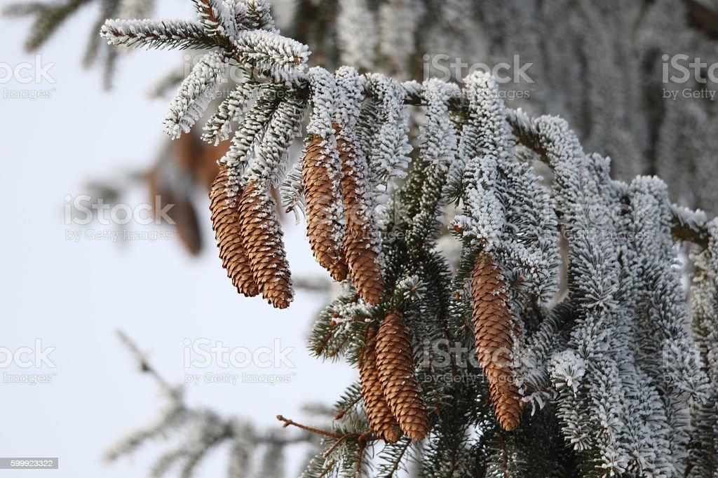 Tannenzweig im Winter stock photo