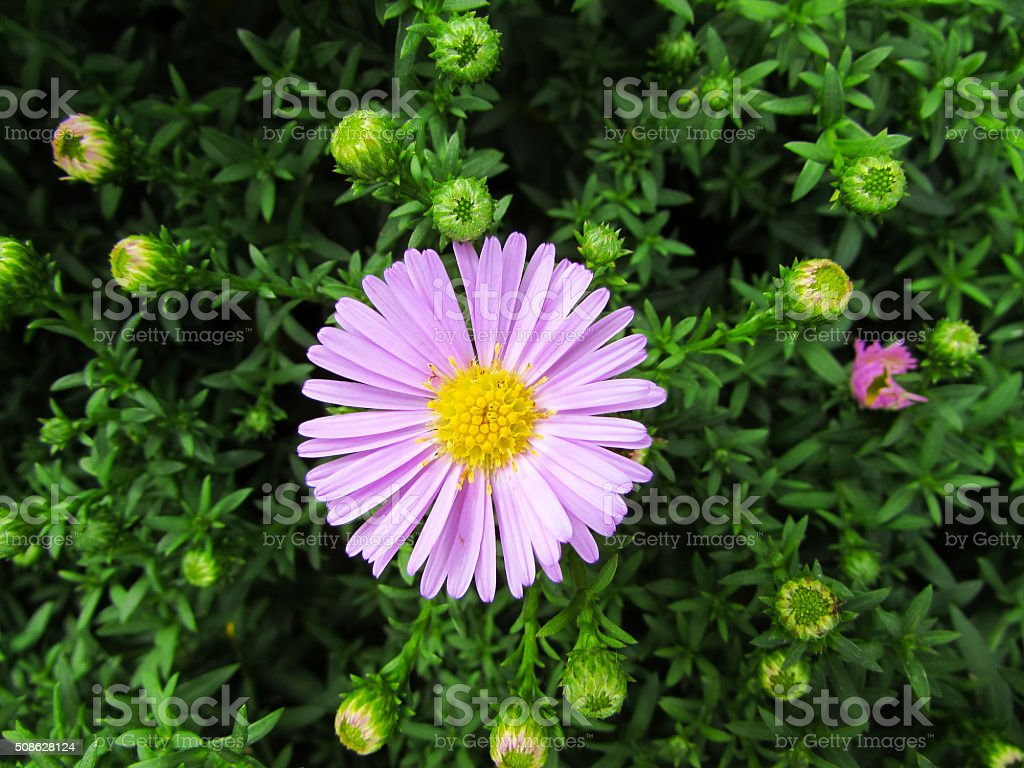 Tansy Aster stock photo