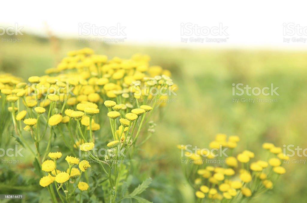 Tansy flowers (Tanacetum vulgare) royalty-free stock photo