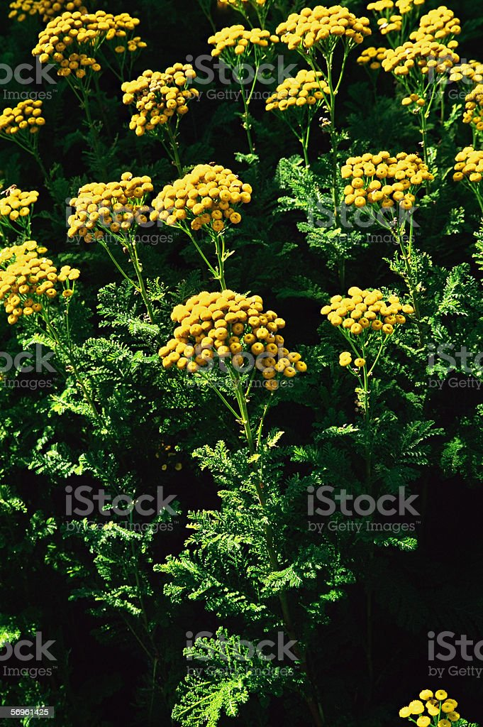 Tansy flowers royalty-free stock photo
