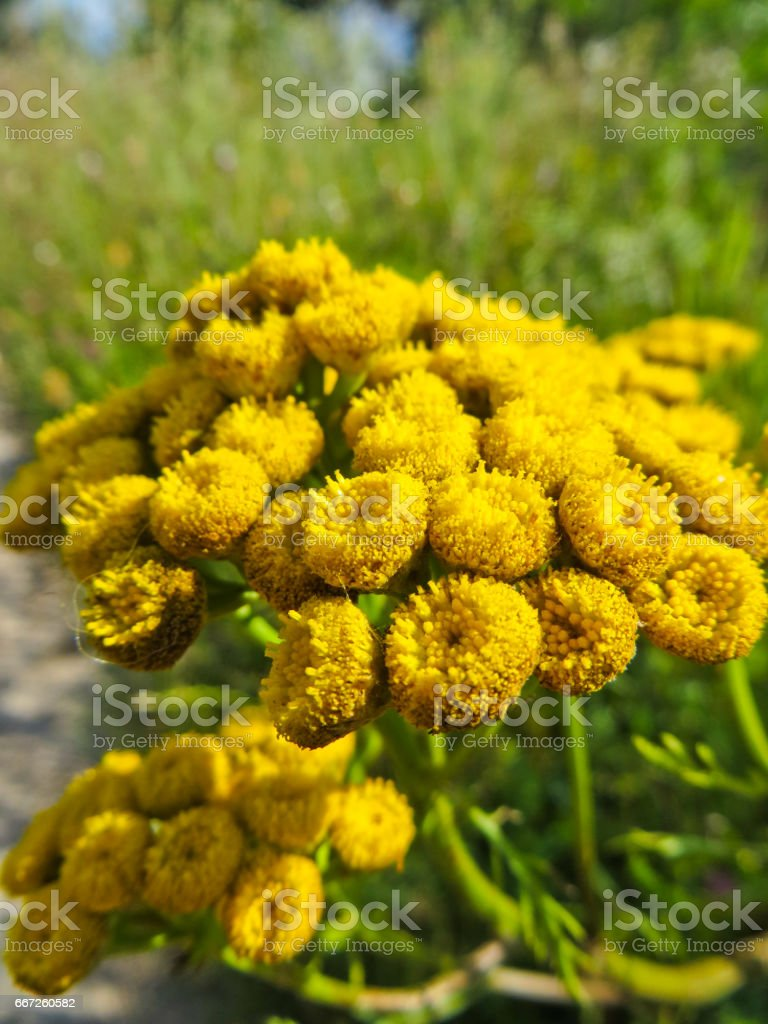 Tansy flowers (Tanacetum vulgare, Common Tansy, Cow Bitter, Mugwort) stock photo
