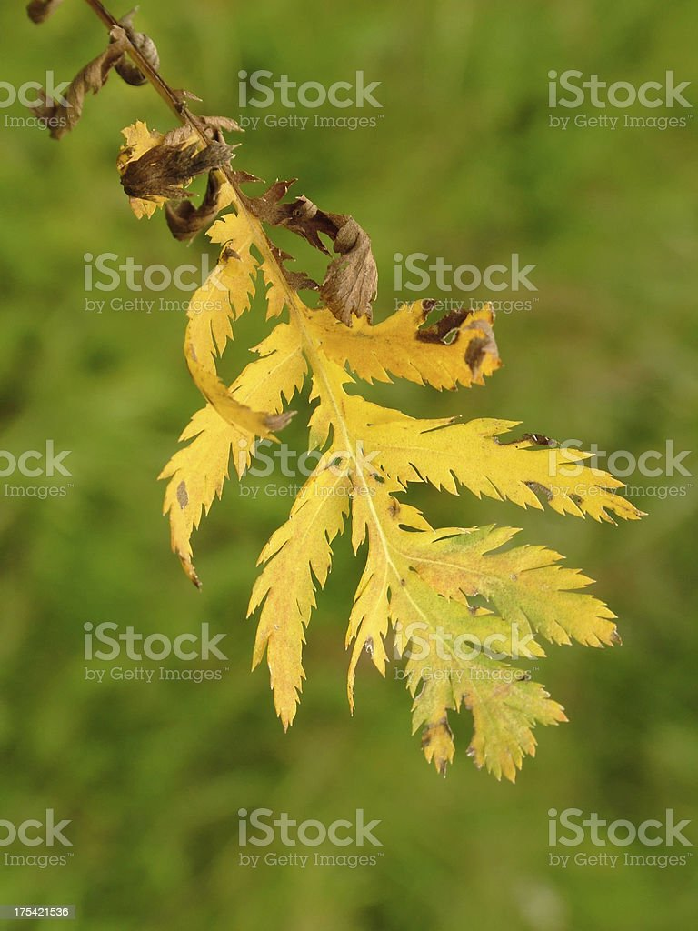 Tansy leaf stock photo