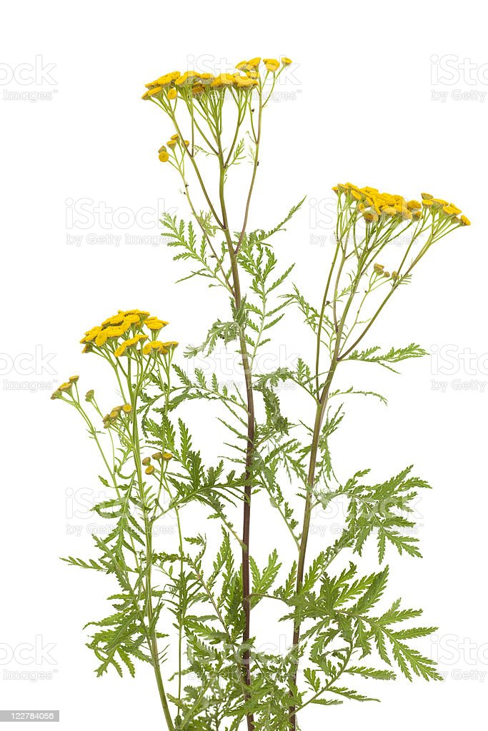 tansy royalty-free stock photo