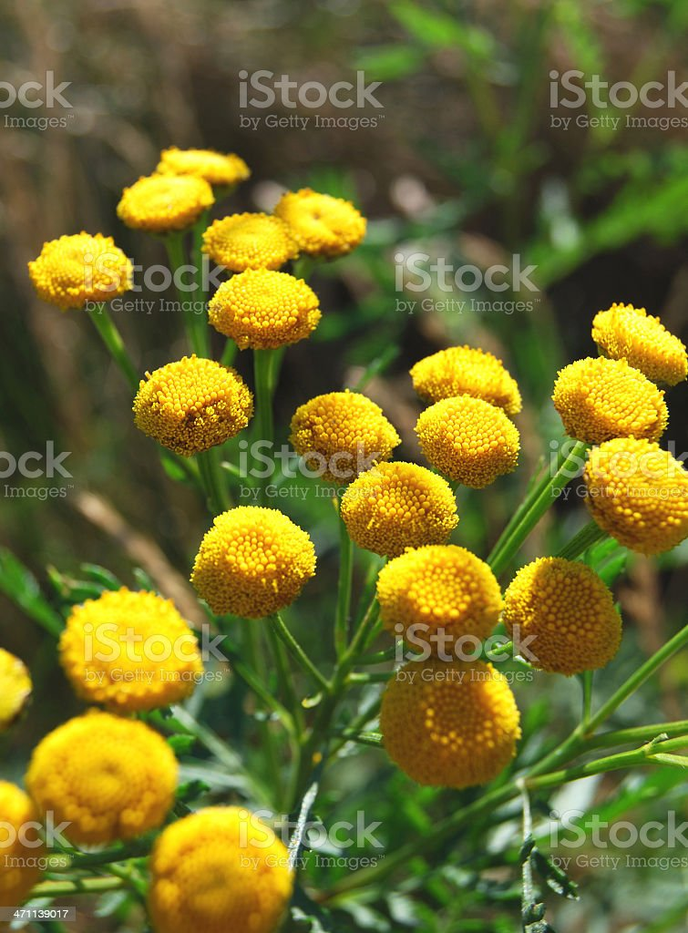 Tansy (Tanacetum vulgare) royalty-free stock photo