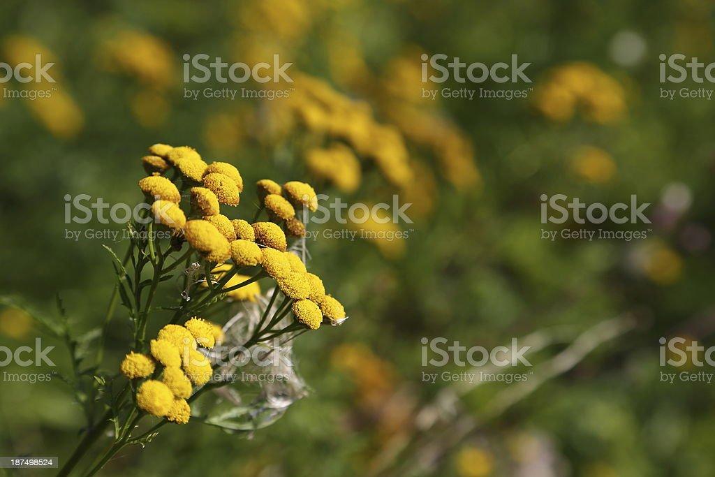 Tansy - Tanacetum vulgare royalty-free stock photo