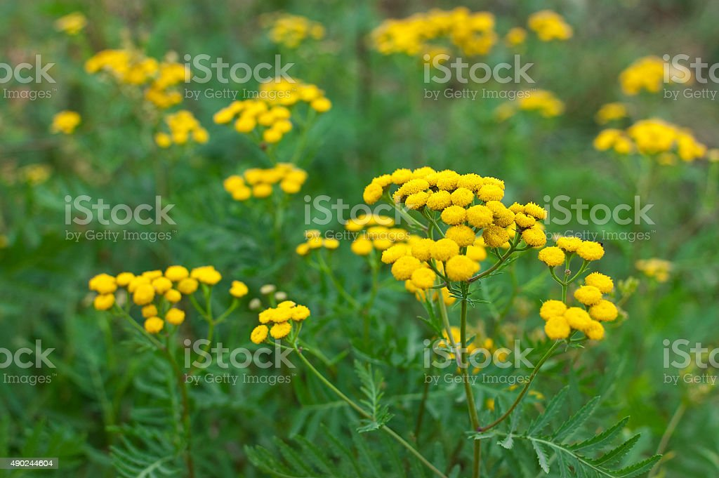 Tansy Tanacetum vulgare plant stock photo