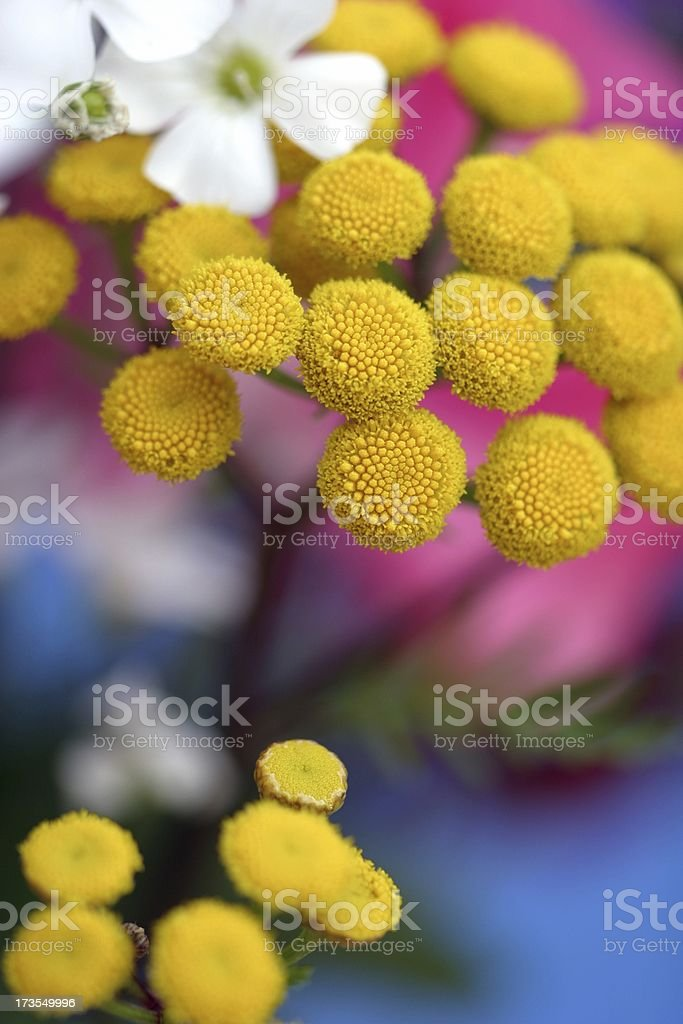 Tansy with space stock photo