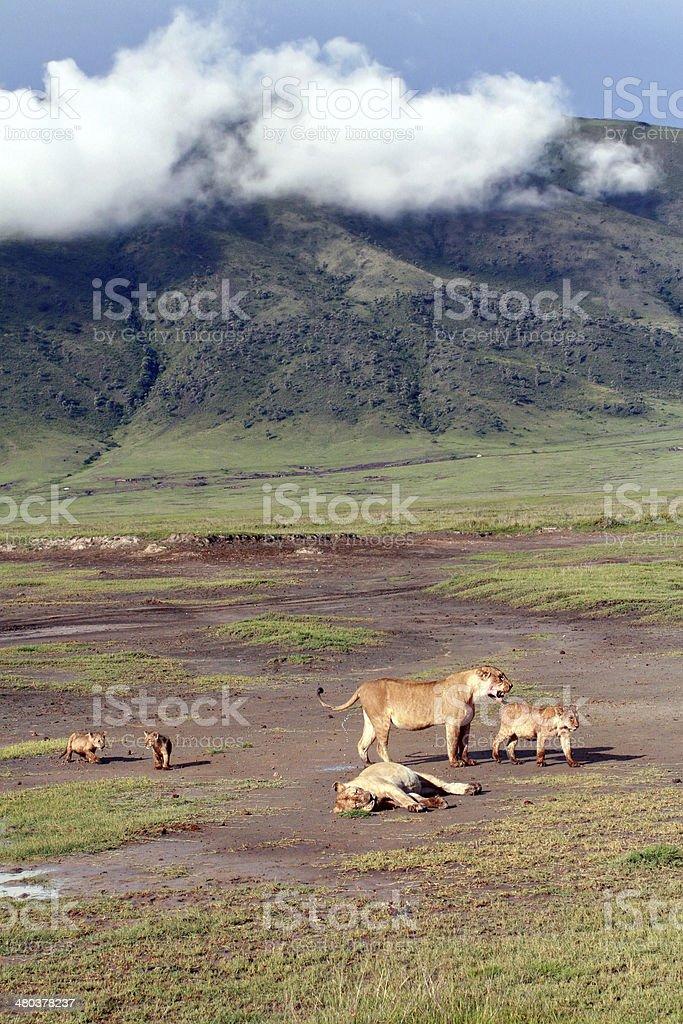 Tanzania Ngorongoro National Park, the family of African lions wild. stock photo