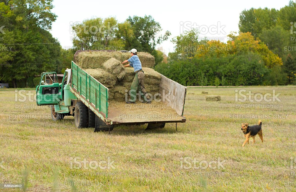 Taos, NM: Farmer Stacking Bales of Hay, Truck, Running Dog stock photo