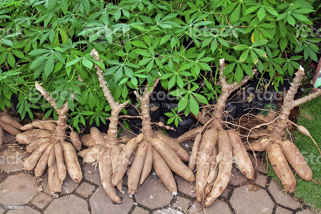 Tapioca Plants Cassava stock photo