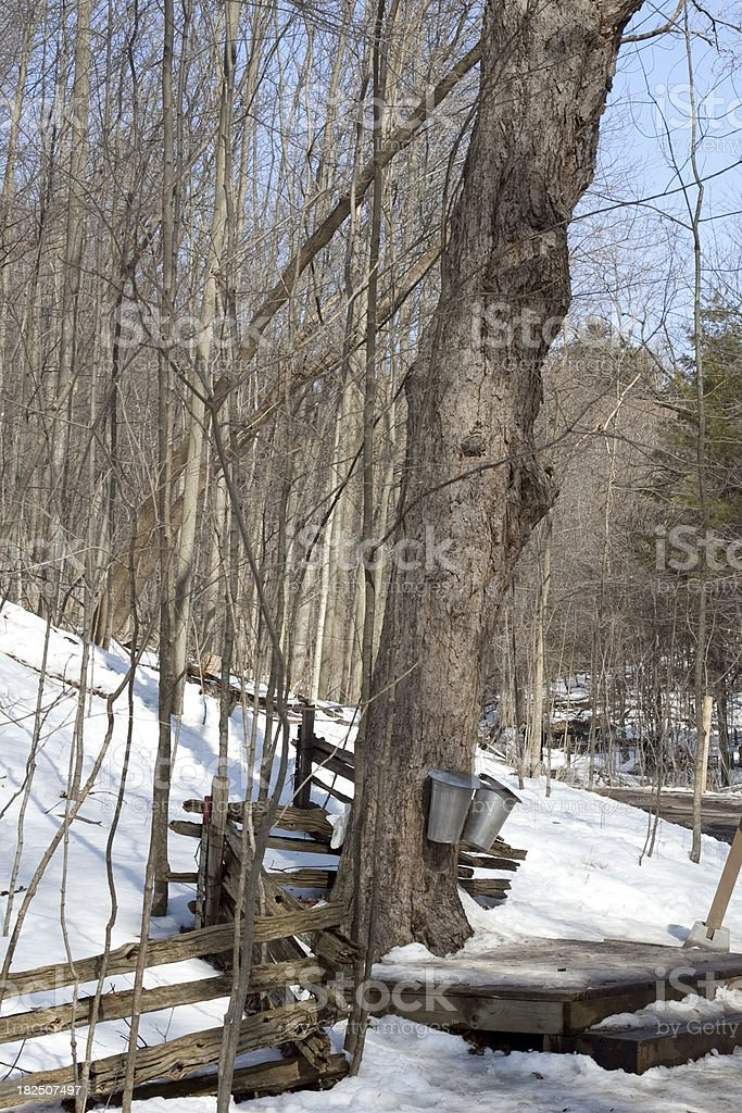 Tapped maple trees royalty-free stock photo