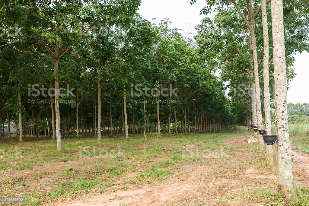 Tapping latex from Rubber tree plantation stock photo