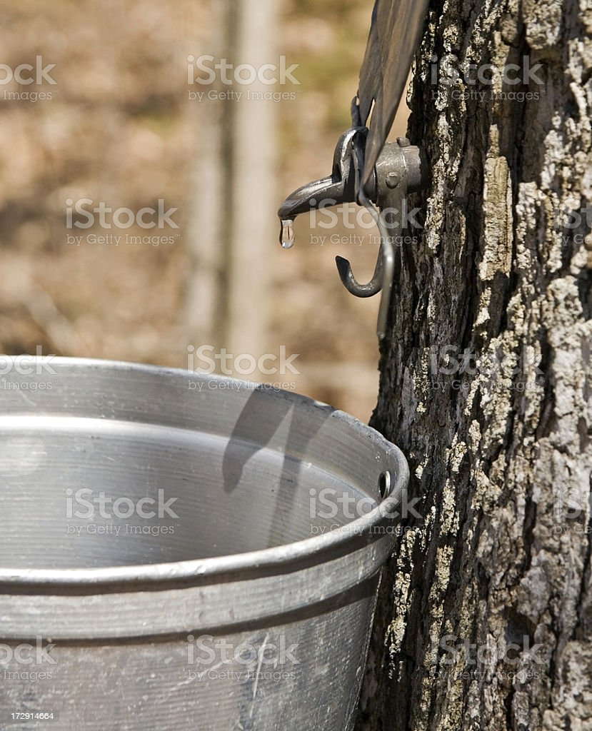 Tapping maple sap royalty-free stock photo