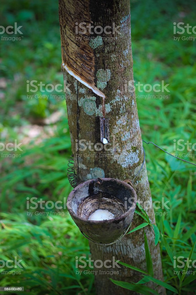Tapping sap from the rubber tree stock photo