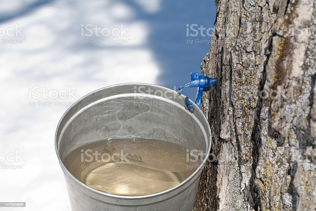 Tapping sap of maple tree royalty-free stock photo