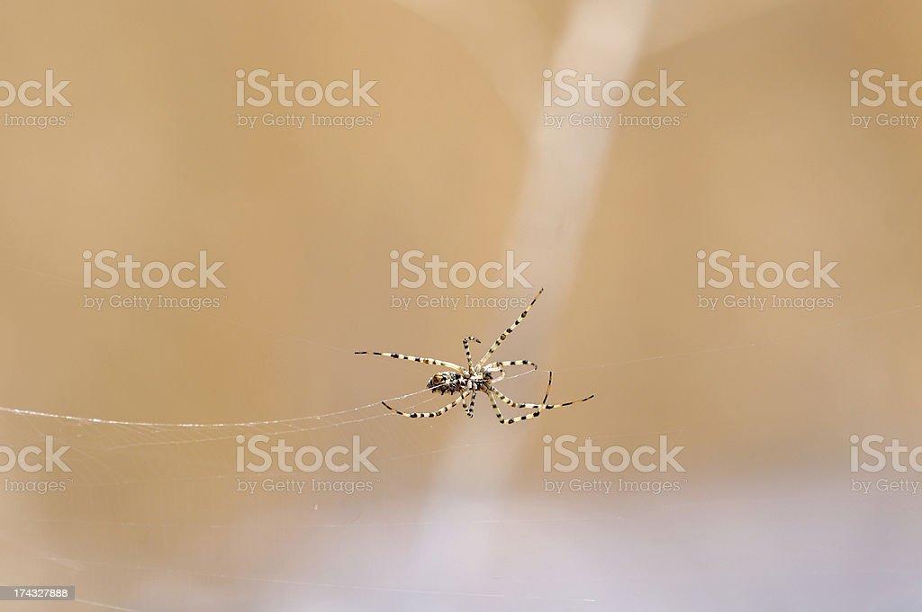 Tarantula and web royalty-free stock photo
