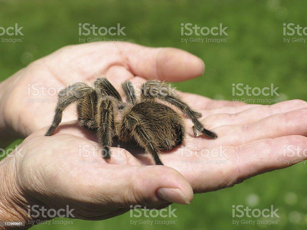 Tarantula Arachnid In Hand Close Up royalty-free stock photo