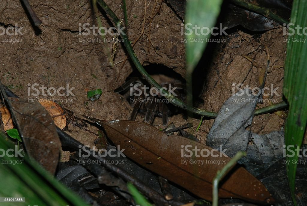 Tarantula Coming Out of Hole in Ground stock photo