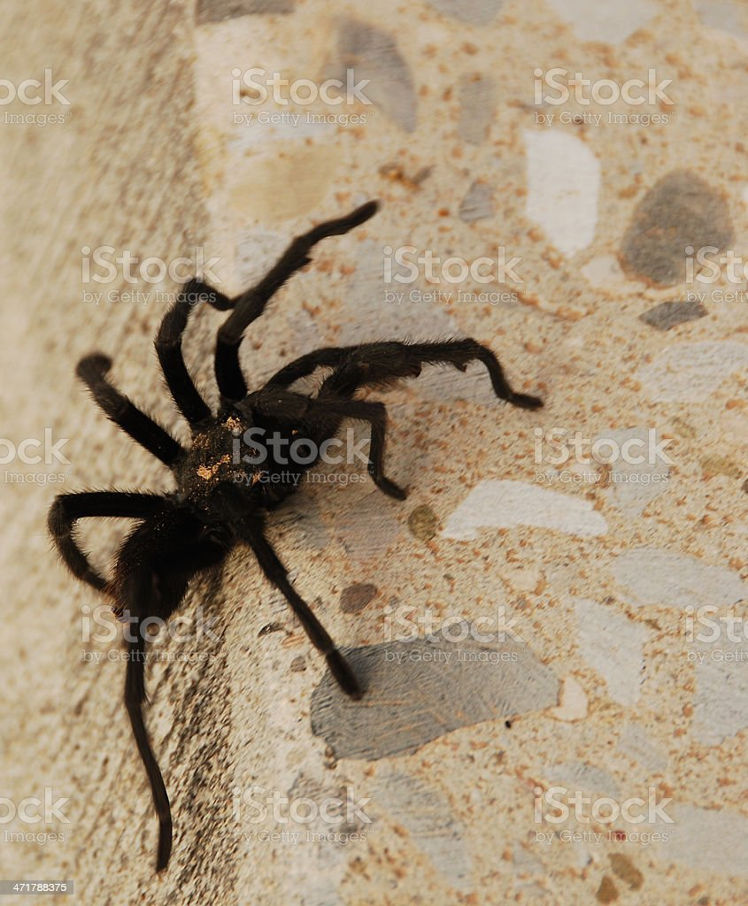 Tarantula Crawling and Climbing royalty-free stock photo