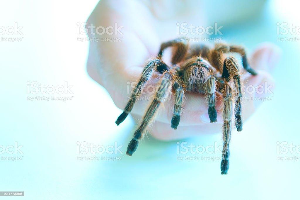 Tarantula in hand stock photo