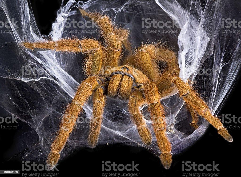 Tarantula in web stock photo