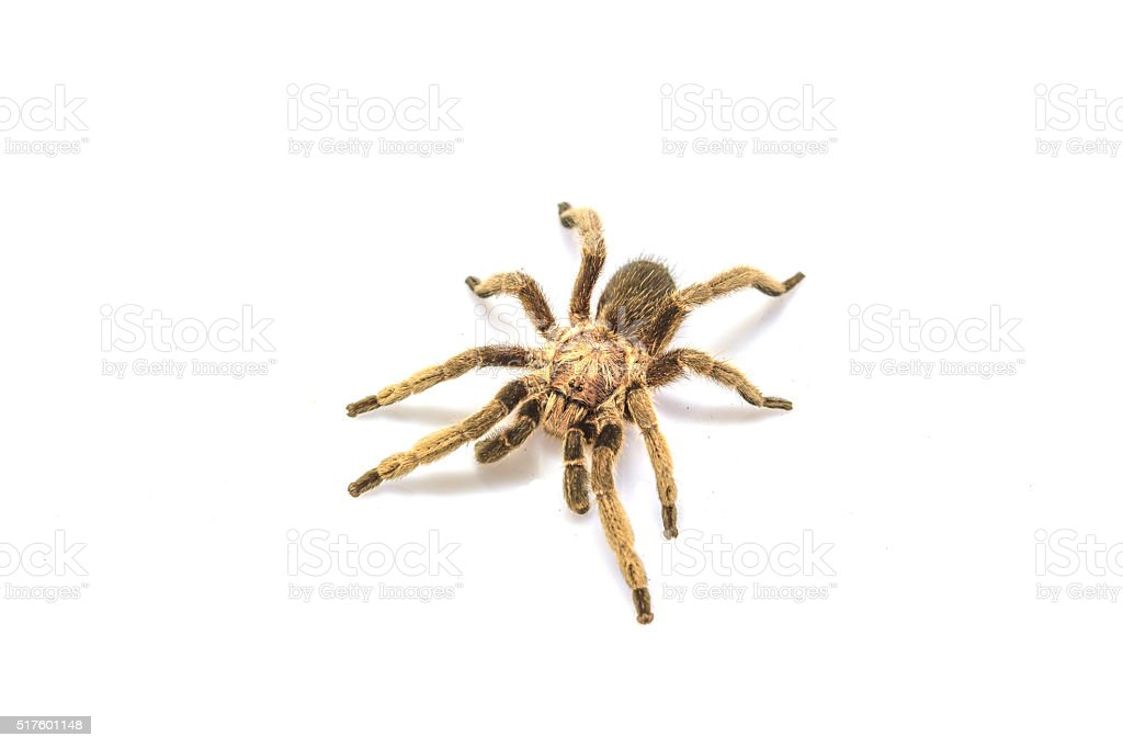 Tarantula Isolated on white Background stock photo