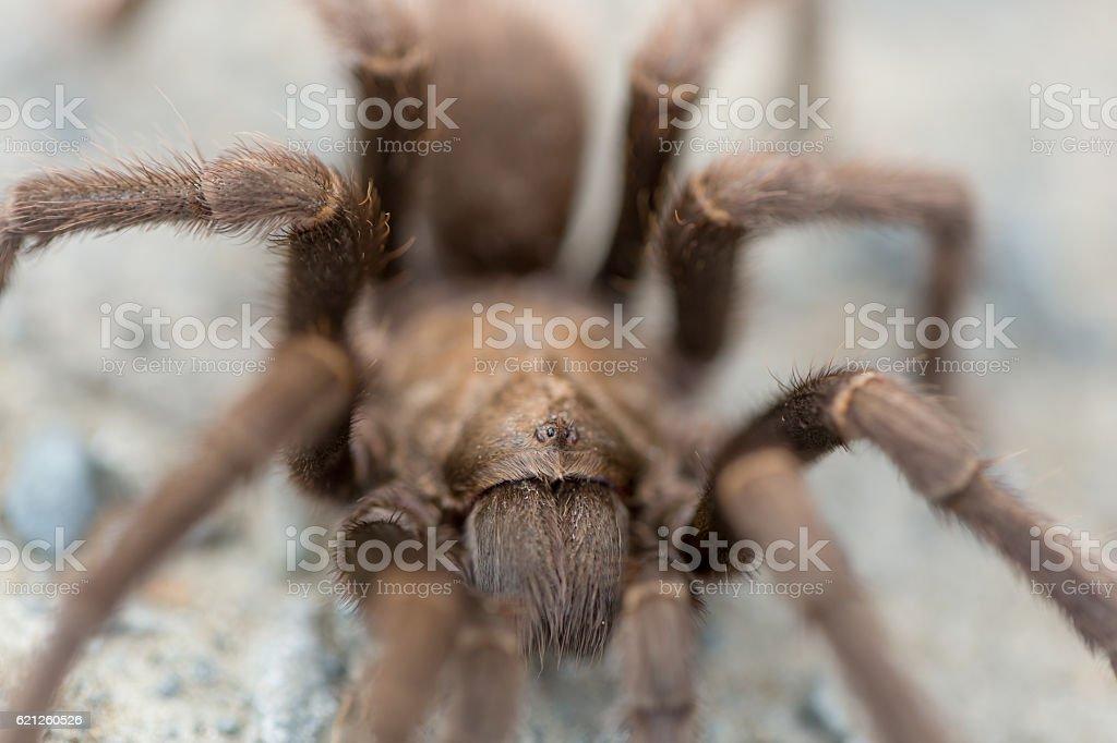 Tarantula looking for love in mating season. stock photo