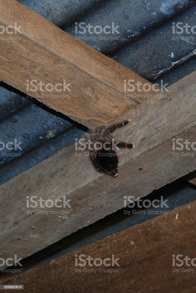 Tarantula on Outhouse Ceiling royalty-free stock photo