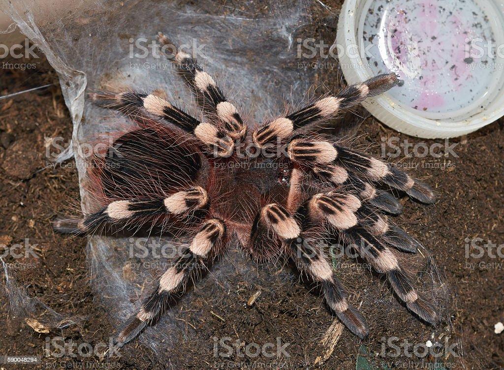 Tarantula Spider (Acanthoscurria geniculata) close up. stock photo