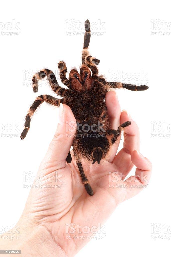 Tarantula spider, female (Vitalius paranaensis) royalty-free stock photo