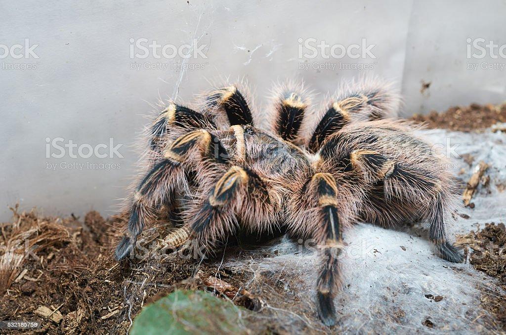 Tarantula spider (Grammostola pulchripes) macro. stock photo