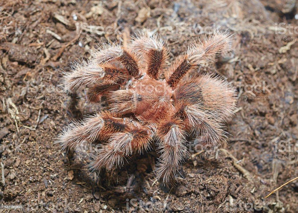 Tarantula spider (Grammostola rosea) macro. stock photo