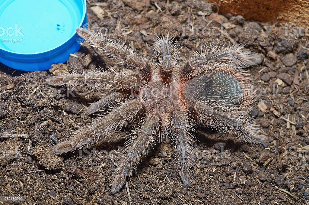 Tarantula spider (Lasiodora parahybana) macro. stock photo