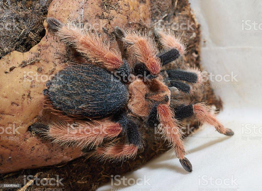 Tarantula spider (Brachypelma boehmei) macro. stock photo