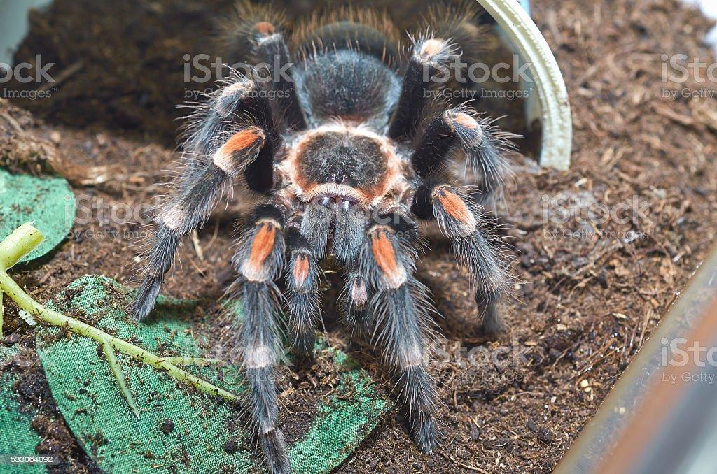 Tarantula spider (Brachypelma auratum) macro. stock photo