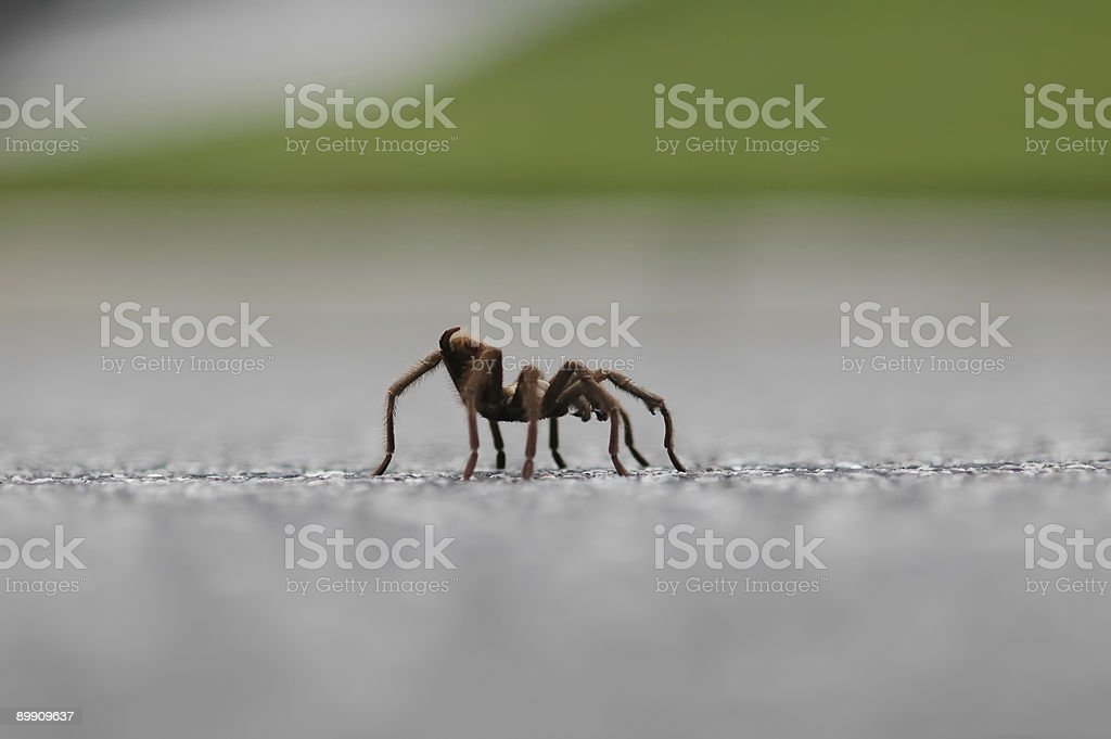 Tarantula spider walks across the road stock photo
