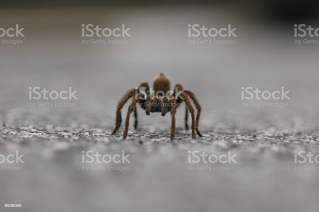 Tarantula walking straight at the camera. stock photo