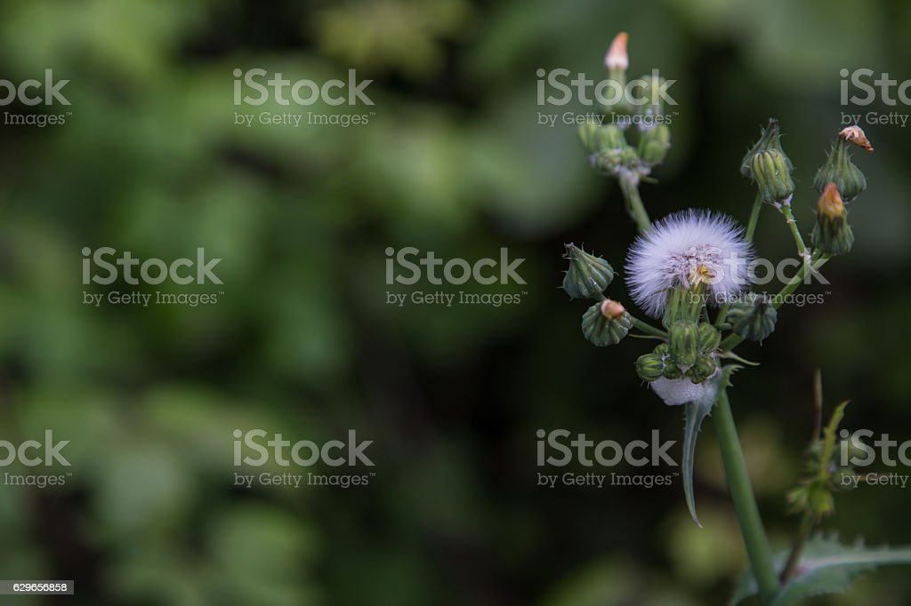 Taraxacum officinale stock photo