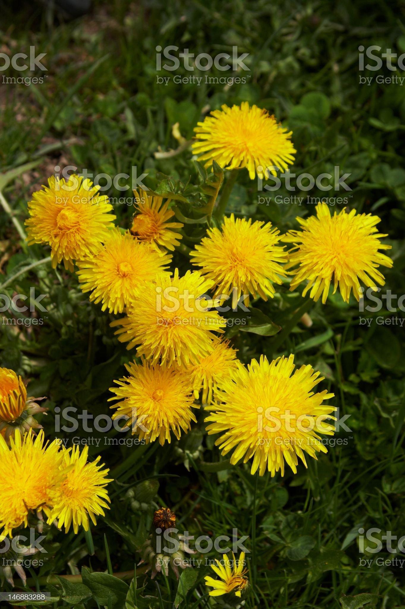Taraxacum officinale, yellow medicinal flower royalty-free stock photo