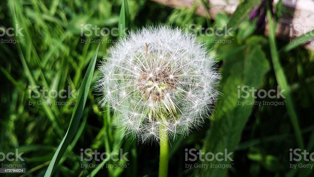 Taraxacum or dandelion flower head stock photo